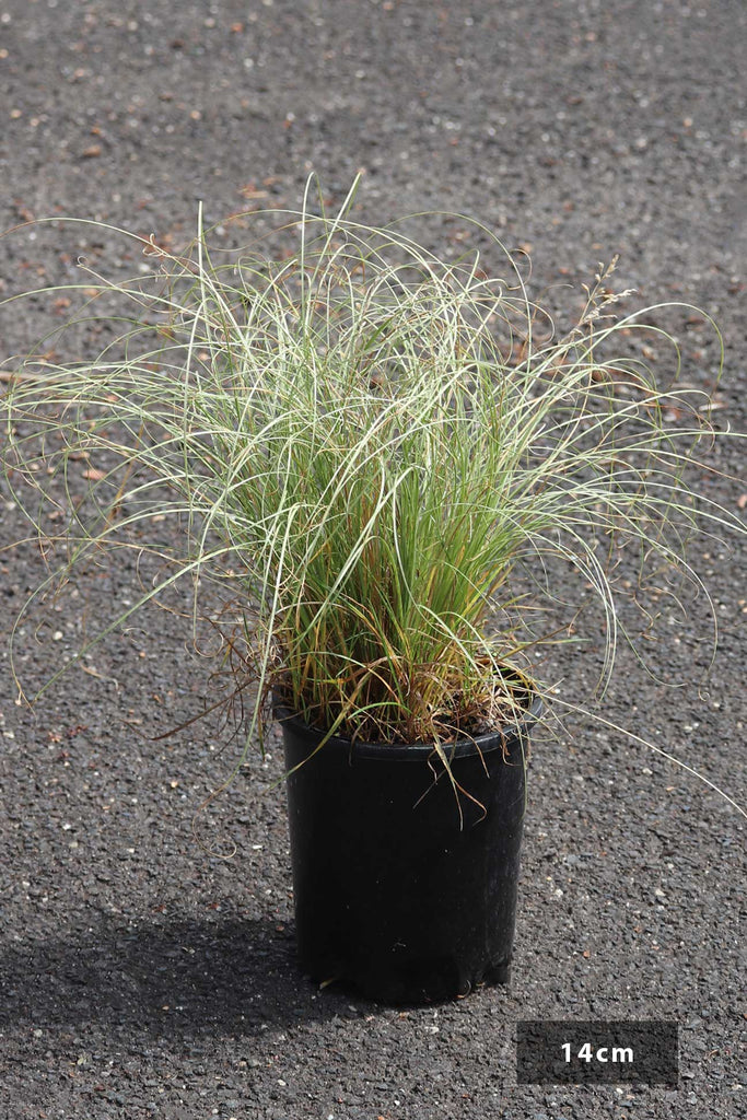 Carex albula 'Frosted Curls' in a 14cm black pot