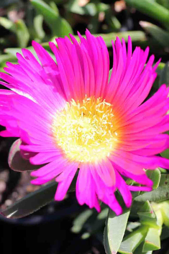 close up of the Carpobrotus Rossi pink flower