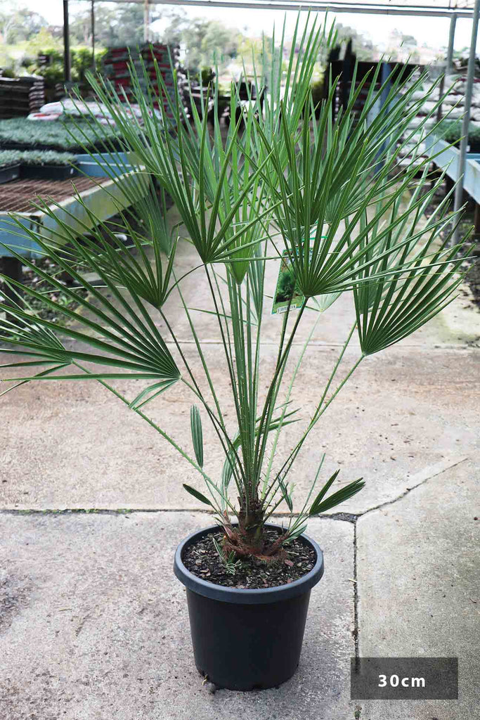 Chamaerops humilis in a 30cm black pot