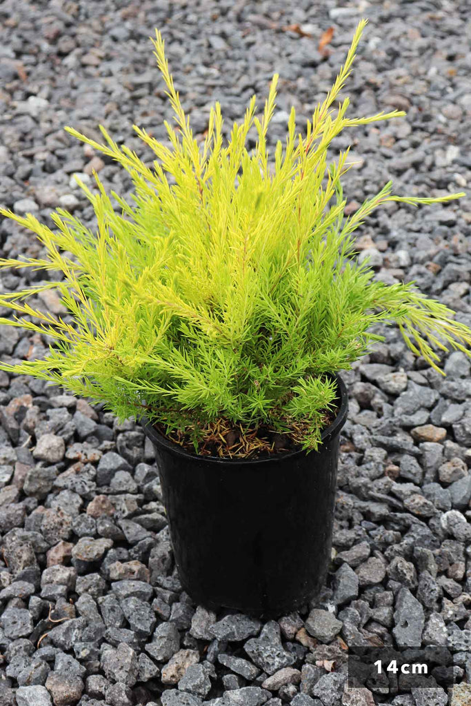 Coleonema Pulchrum in a 14cm black pot