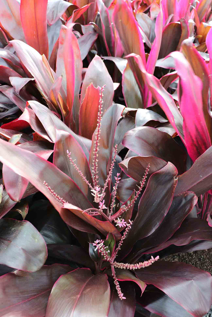 close up of the Cordyline Fruticosa Rubra red to pink foliage and pink and white flower