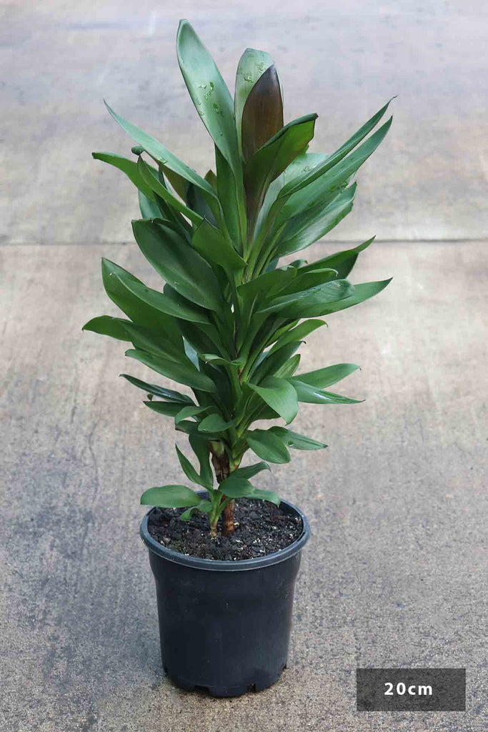 Cordyline fruiticosa 'Glauca' in a black 20cm pot