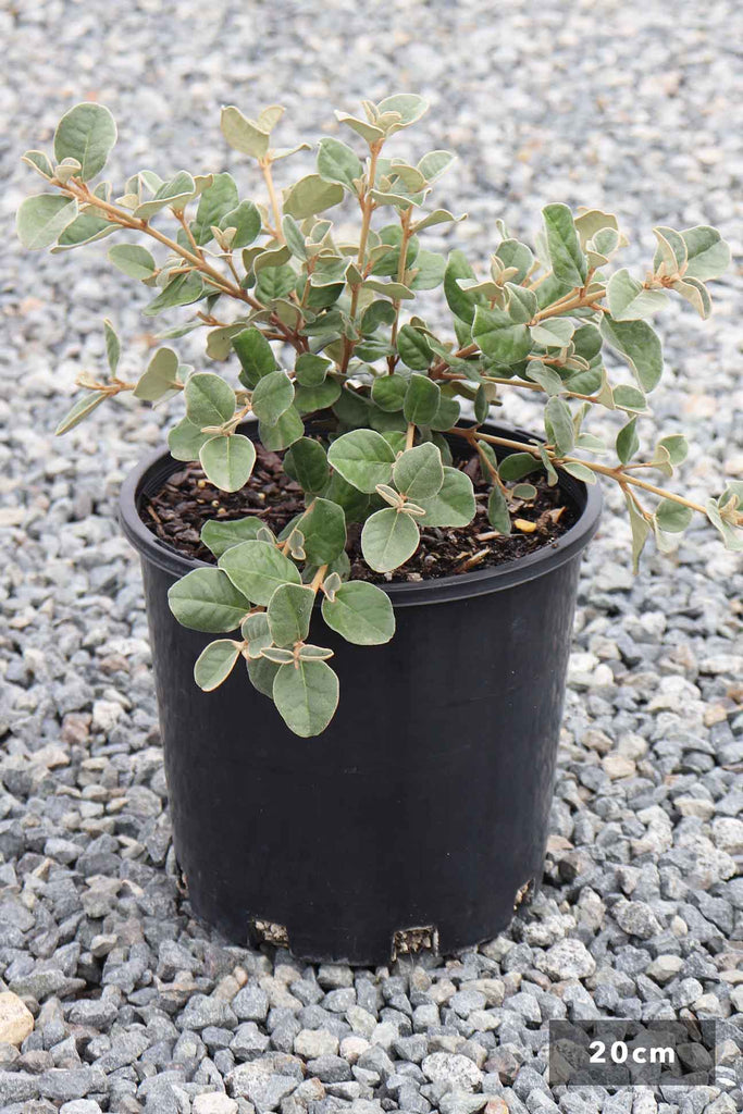 Correa Alba in a 20cm black pot