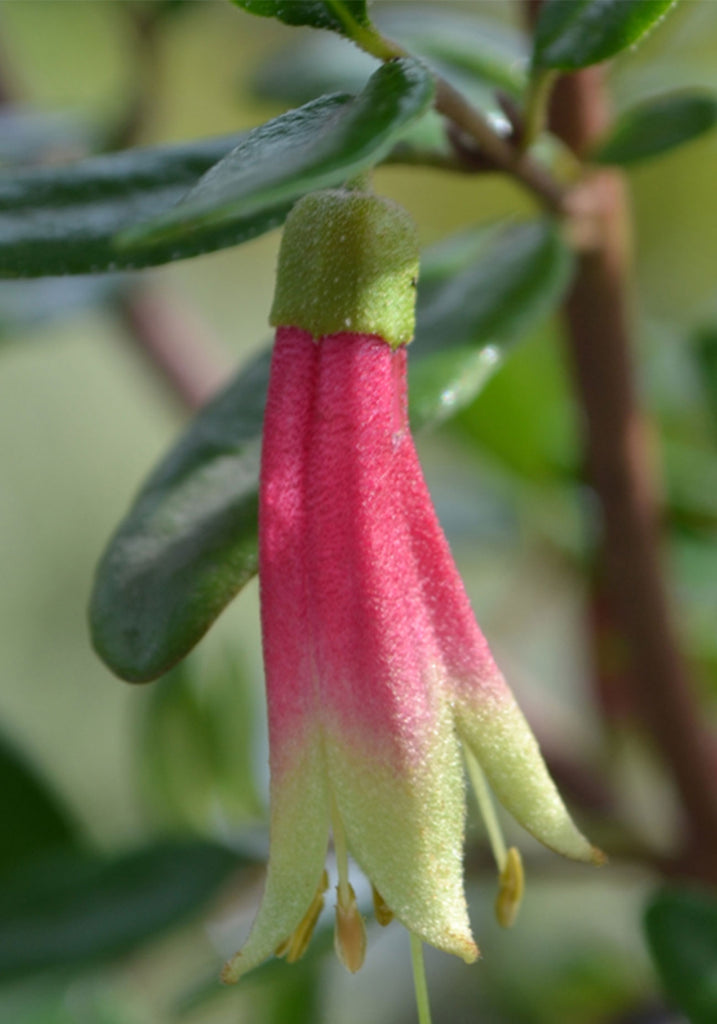 A close up image of Correa Glabra Red flower