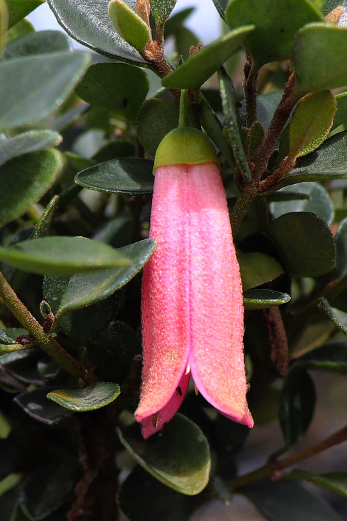 A close up image of a Correa pulchella 'Pink Mist' flower - a bright and light pink bell-shaped flower.