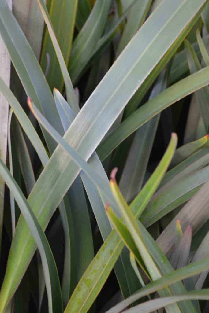 close up of Dianella Tasmanica Tas Red green grass-like foliage