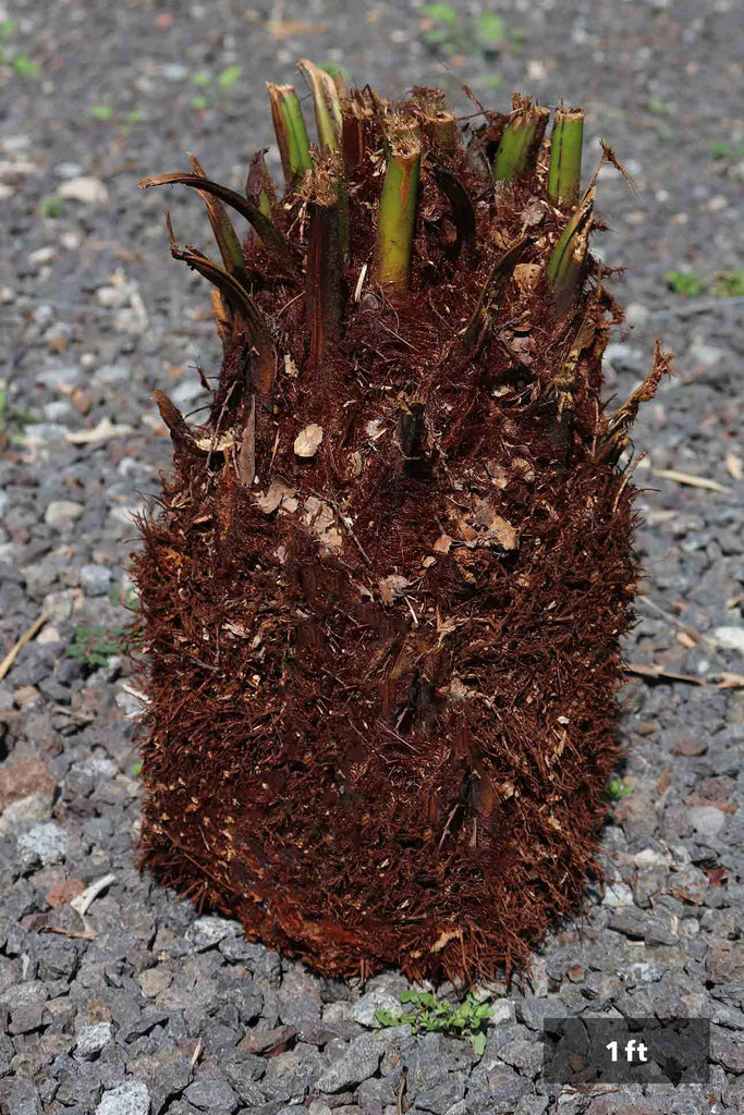 Dicksonia antarctica 1 foot