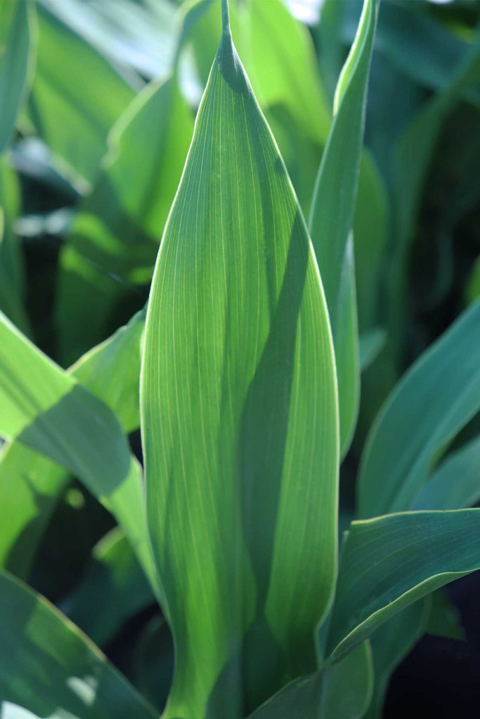 Close up image of Doryanthes palmeri foliage