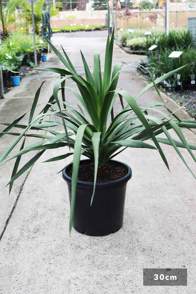 Dracaena draco in a 30cm black pot