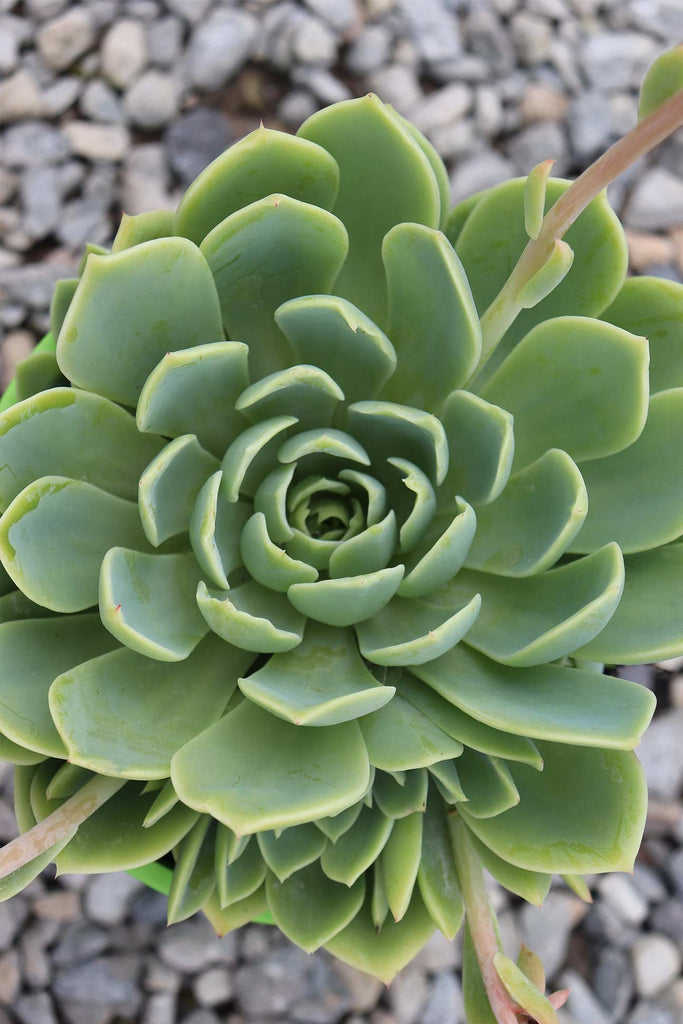 Close up of Echeveria coolvue from above showing the rose formation