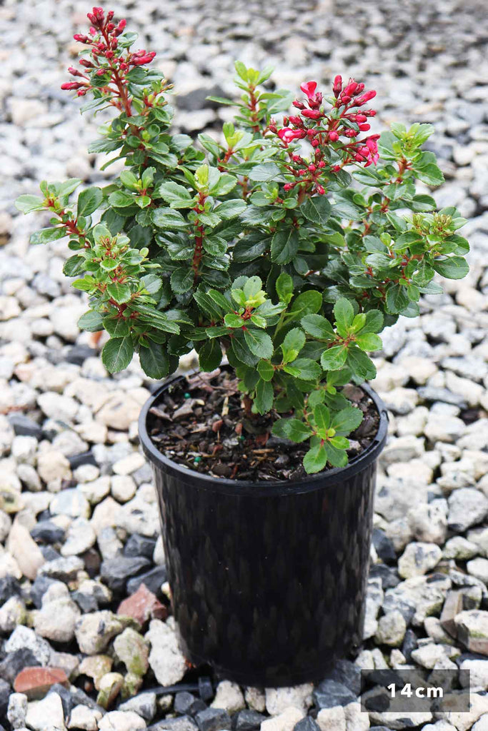 Escallonia Pink Pixie In a 14cm black pot