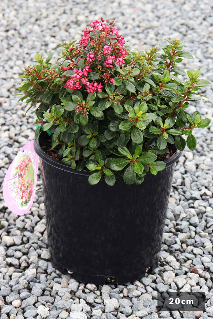 Escallonia Pink Pixie In a 20cm black pot