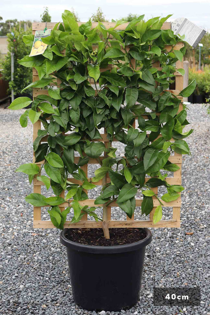 Espalier Lemon Eureka in a 40cm black pot and trellis