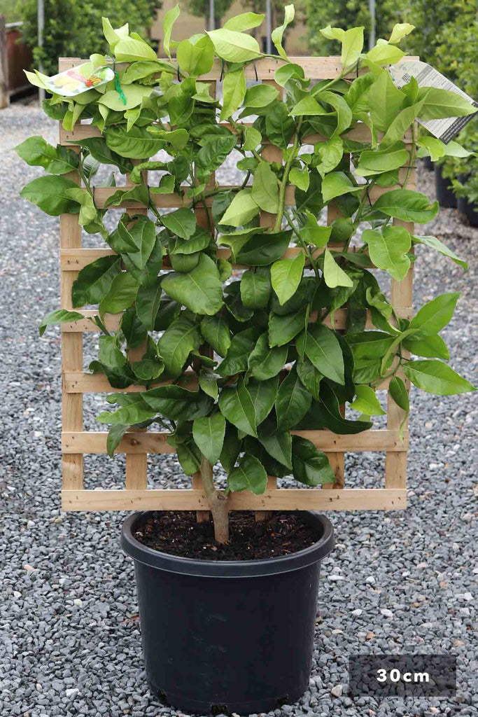 Espalier Lemon Lisbon in a 30cm black pot and trellis
