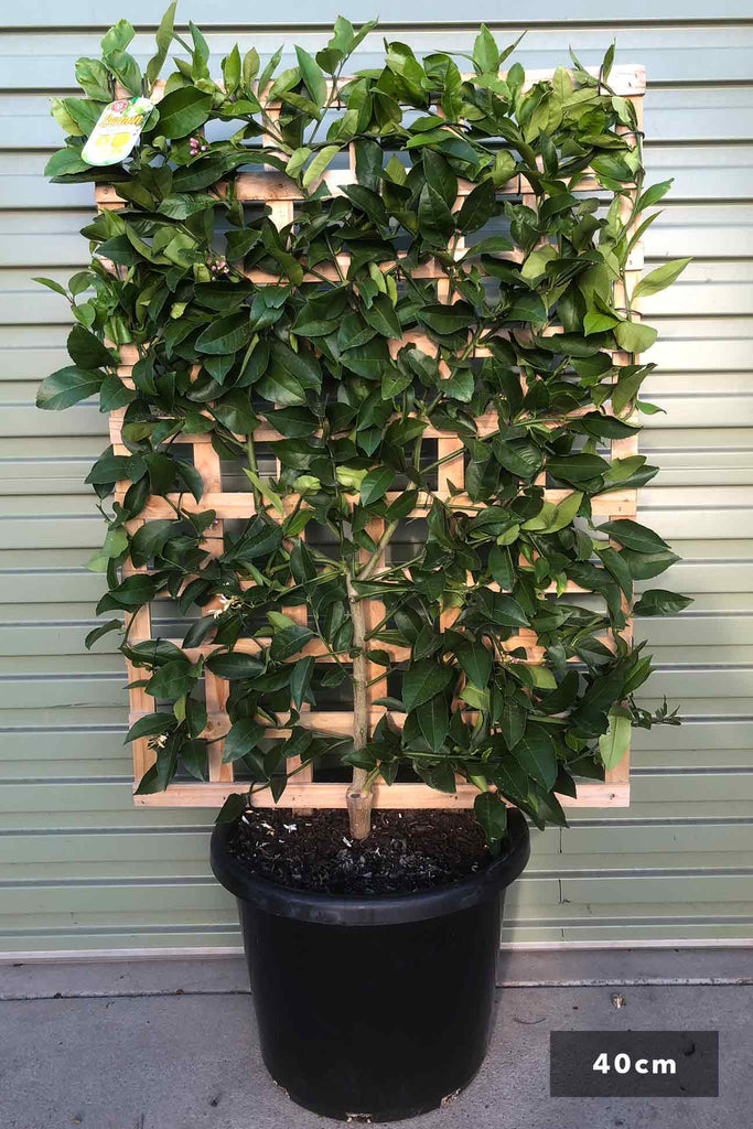 Espalier Lemon Lisbon in a 40cm black pot