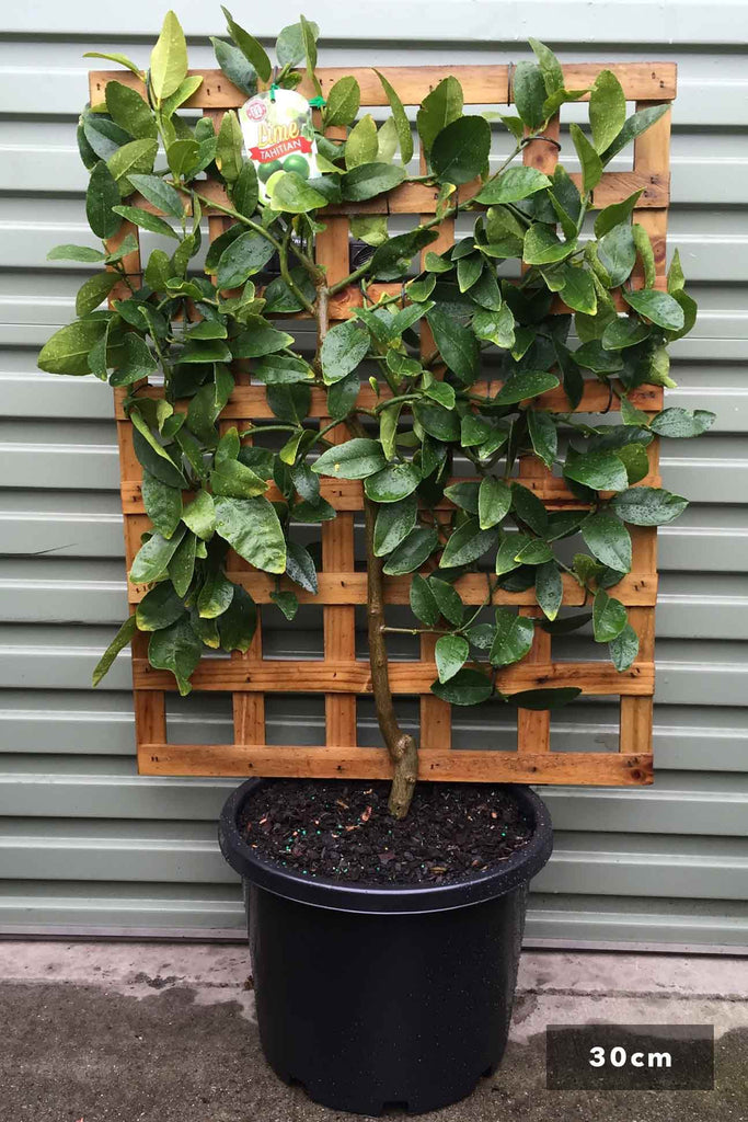 Espalier Lime Tahitian in a 30cm black pot