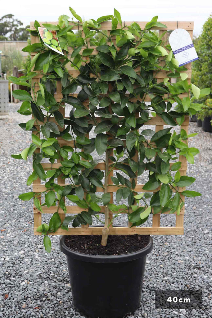 Espalier Lime Tahitian in a 40cm black pot and a trellis