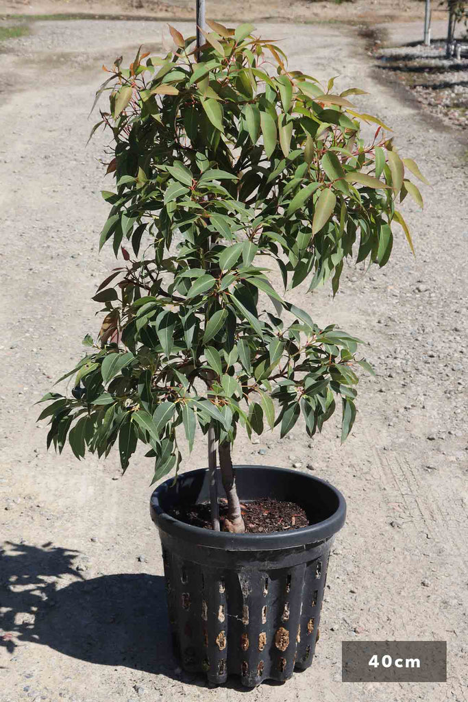 Eucalyptus ficifolia 'Baby Orange in a 40cm black pot