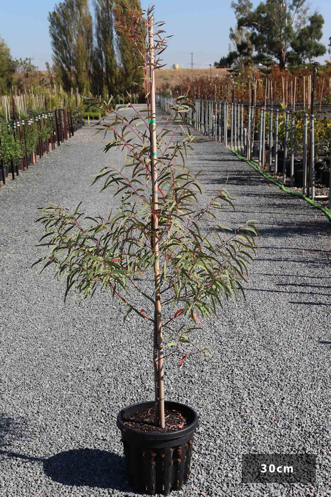 Eucalyptus mannifera in a 30cm black pot