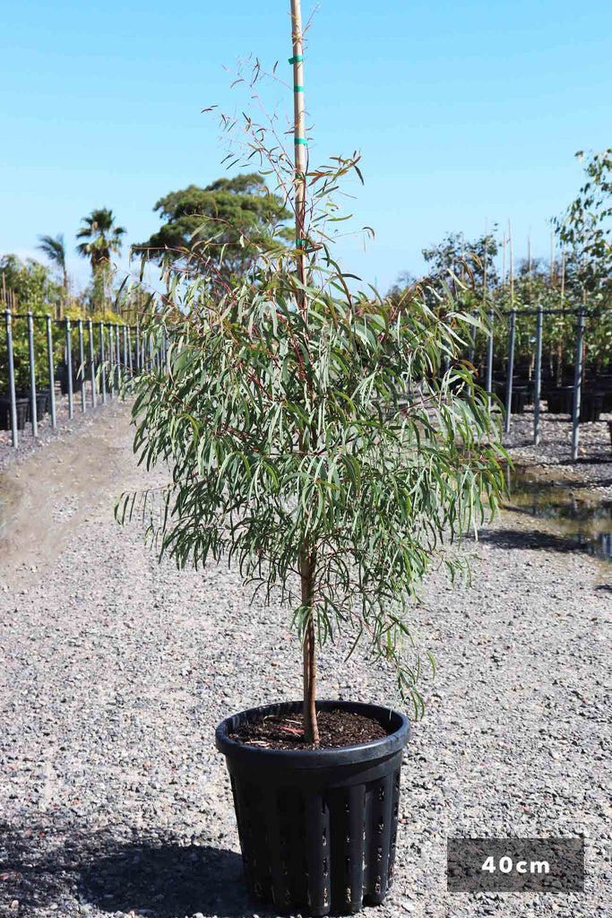 Eucalyptus mannifera in a 40cm black pot
