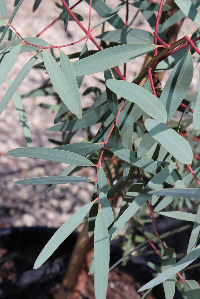 close up of Eucalyptus mannifera leaves