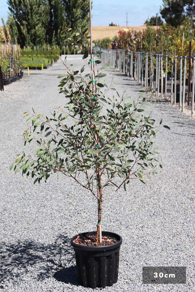 Eucalyptus sideroxylon Rosea in a 30cm black pot