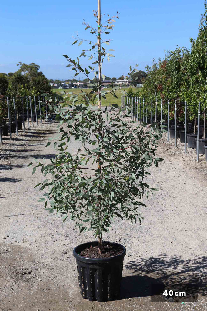 Eucalyptus sideroxylon Rosea in a 40cm black pot