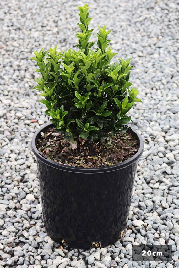Euonymous Green Rocket in a 14cm black pot