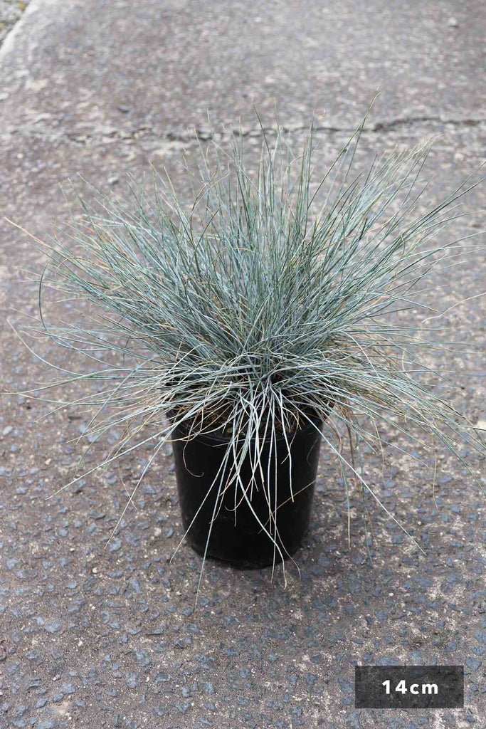 Festuca Glauca in a 14cm black pot.