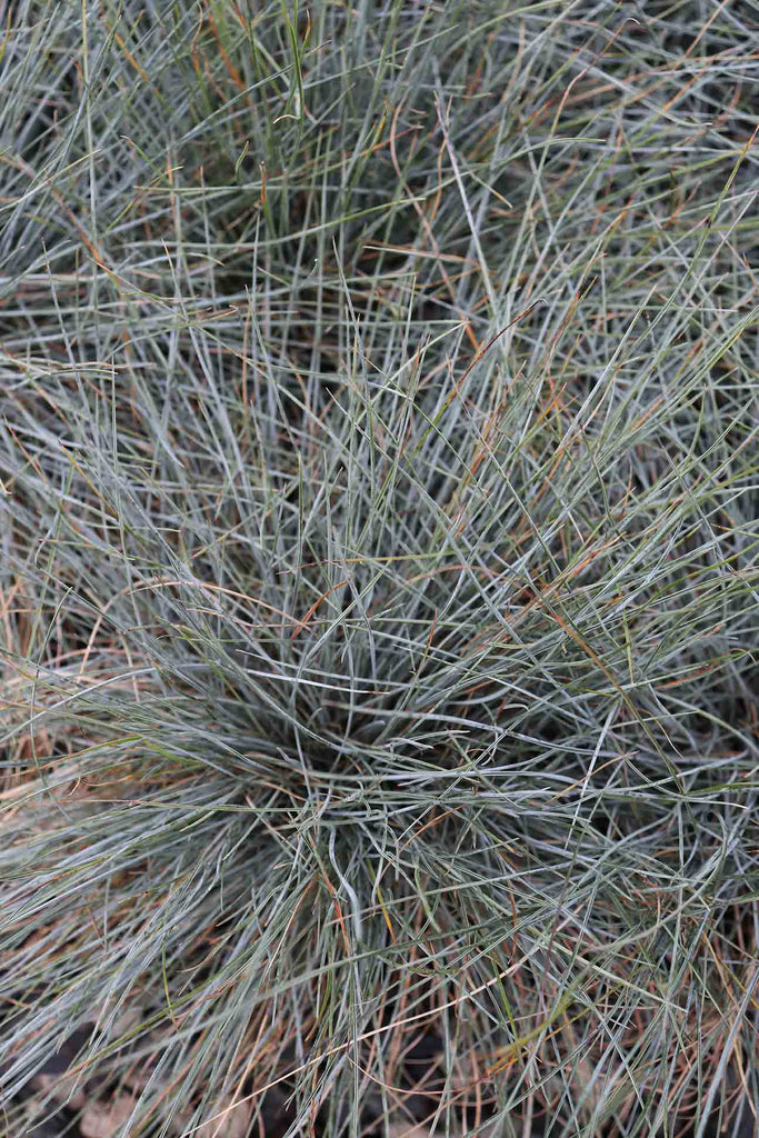 close up of Festuca Glauca foliage.