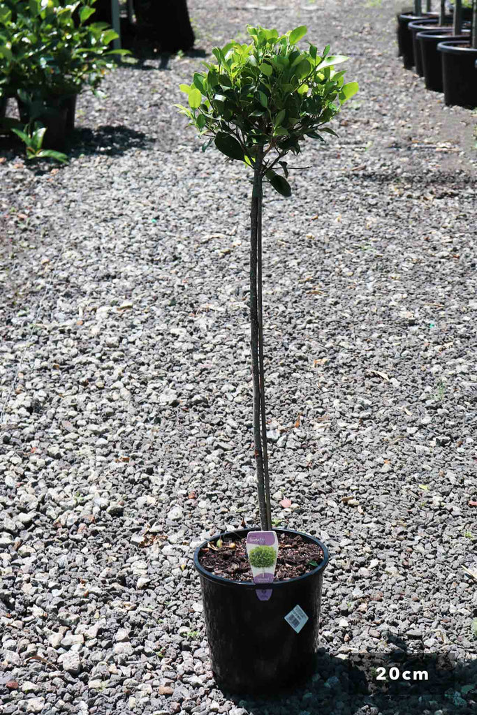 Ficus hilli 'Emerald Green' Standards in a 20cm black pot