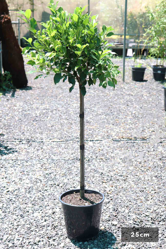 Ficus Hilli 'Emerald Green' Standards in a 25cm black pot