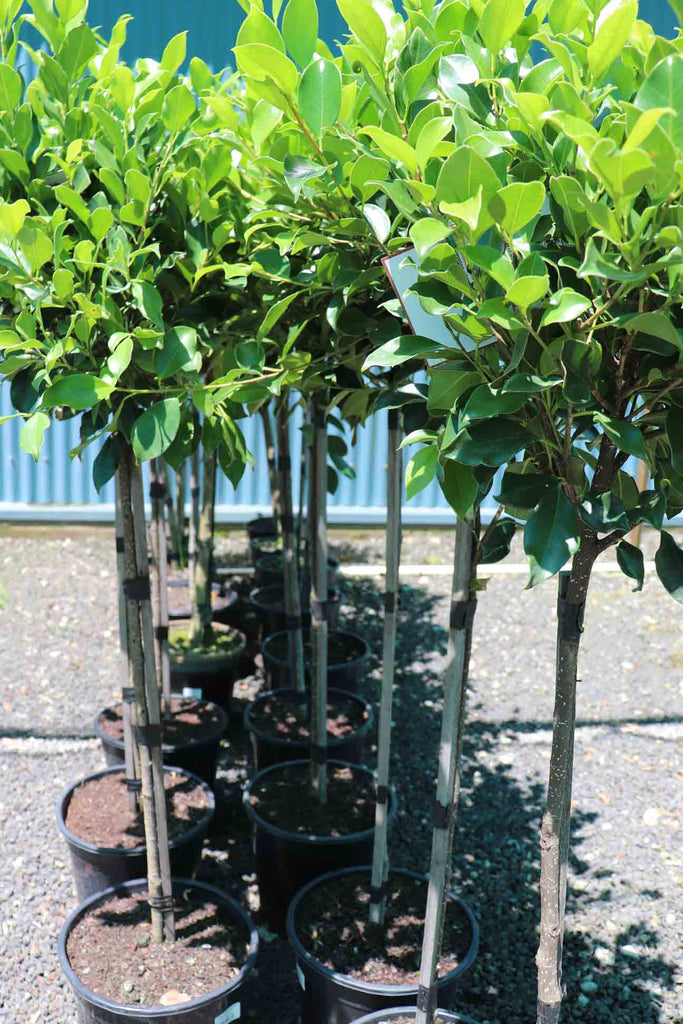 group of Ficus Hilli 'Emerald Green' Standards in black pots