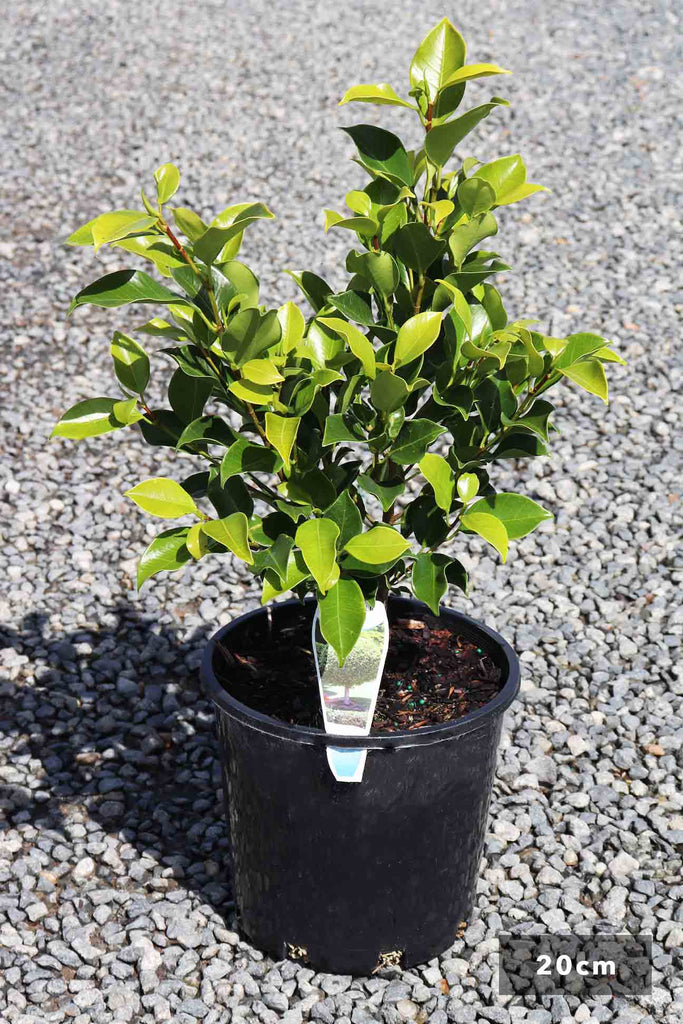 Ficus Hilli 'Flash' in a 20cm black pot