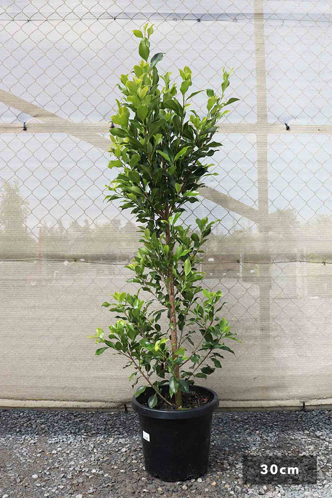 Ficus Hilli Flash single in black pot at 30cm