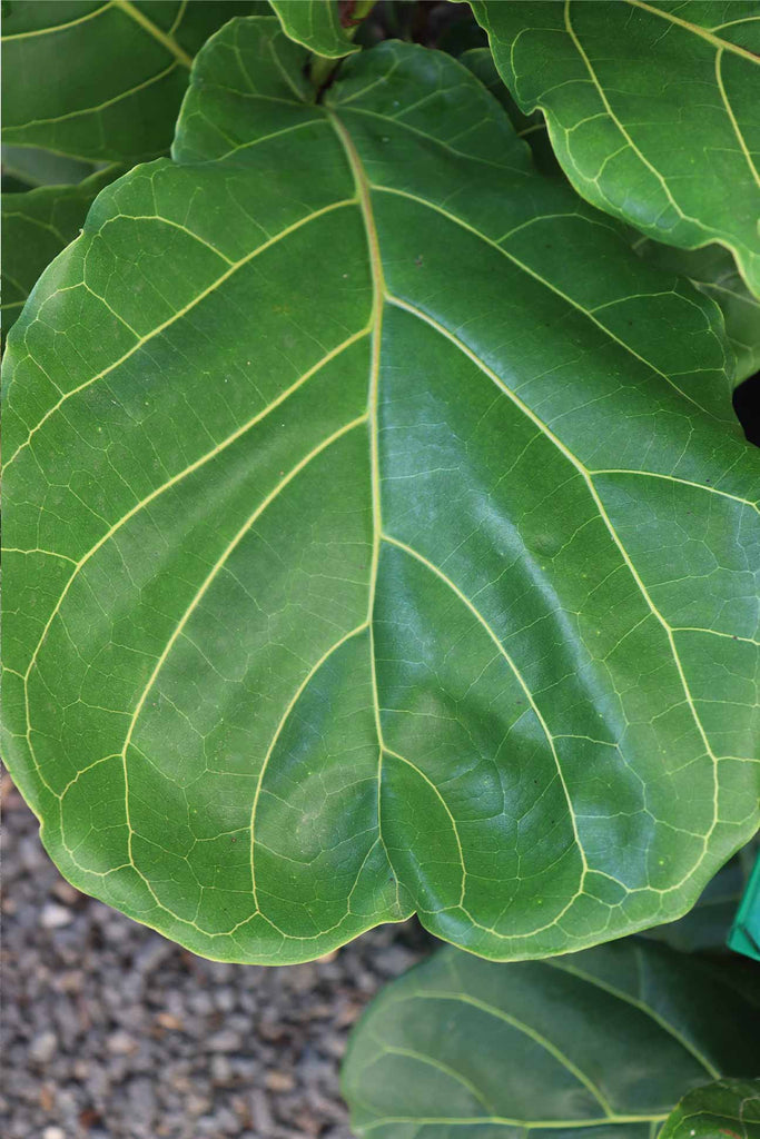 close up of the Ficus lyrata glossy green leaves