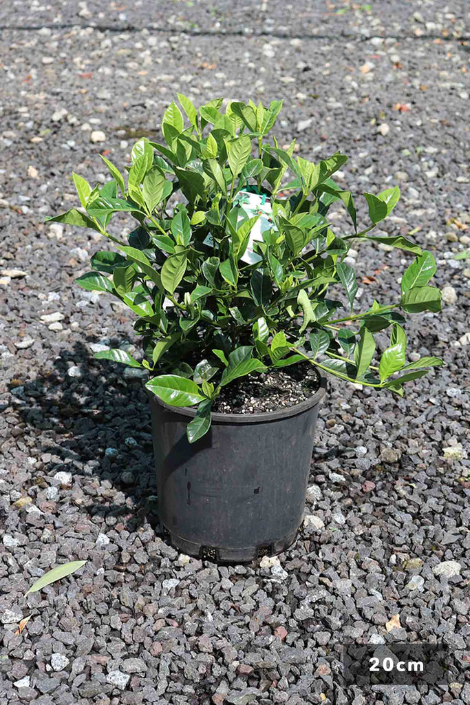 Gardenia Augusta Florida in 20cm black pot