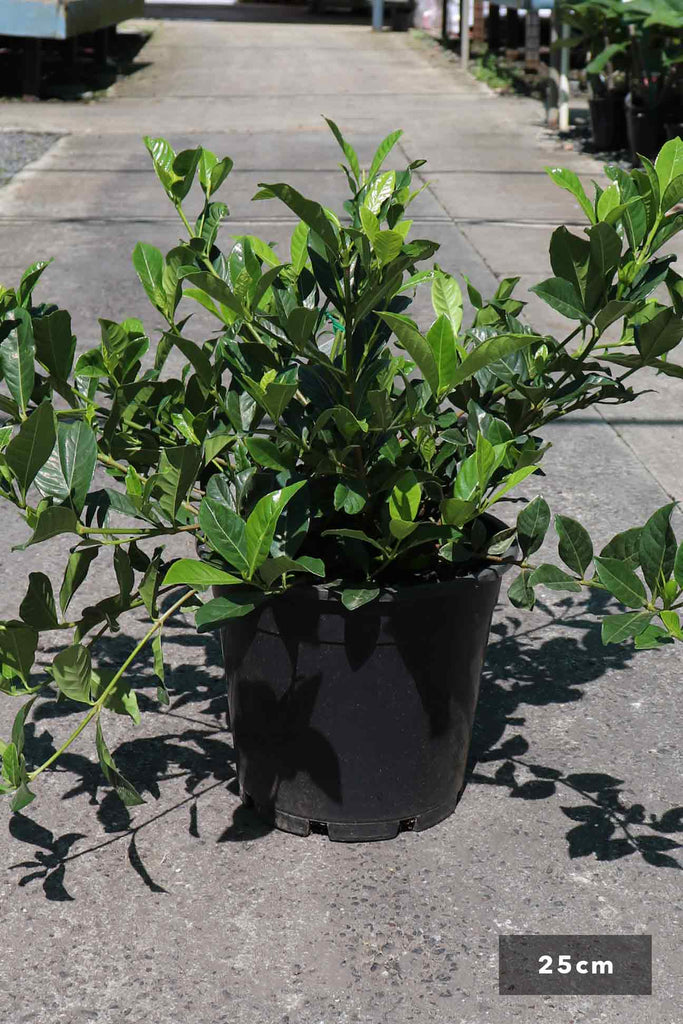 Gardenia augusta 'Florida' in a 25cm black pot