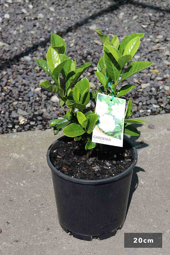 Gardenia Augusta magnifica in 20cm black pot