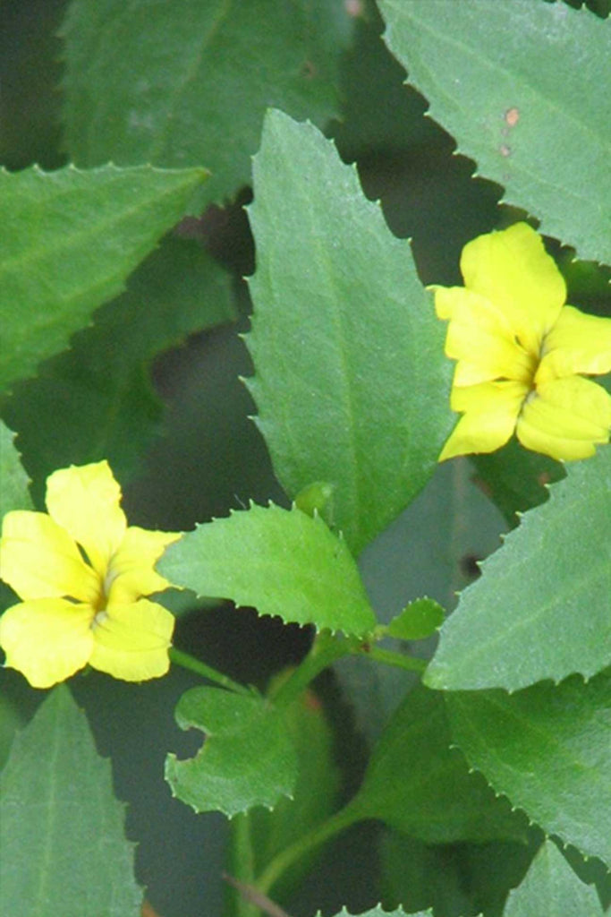 close up of Goodenia Ovata small yellow flowers and green foliage