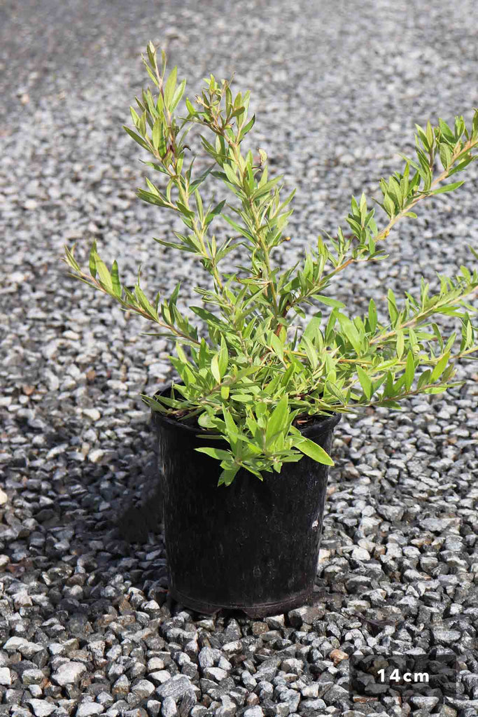 Grevillea 'Canterbury Gold' in a 14cm black pot