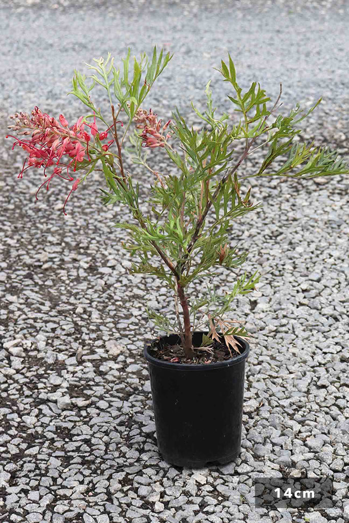 Grevillea Coconut Ice in a 14cm black pot