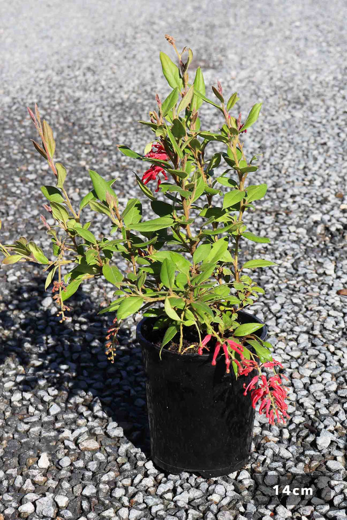 Grevillea Rhyolitica 'Deua Flame' in a 14cm black pot