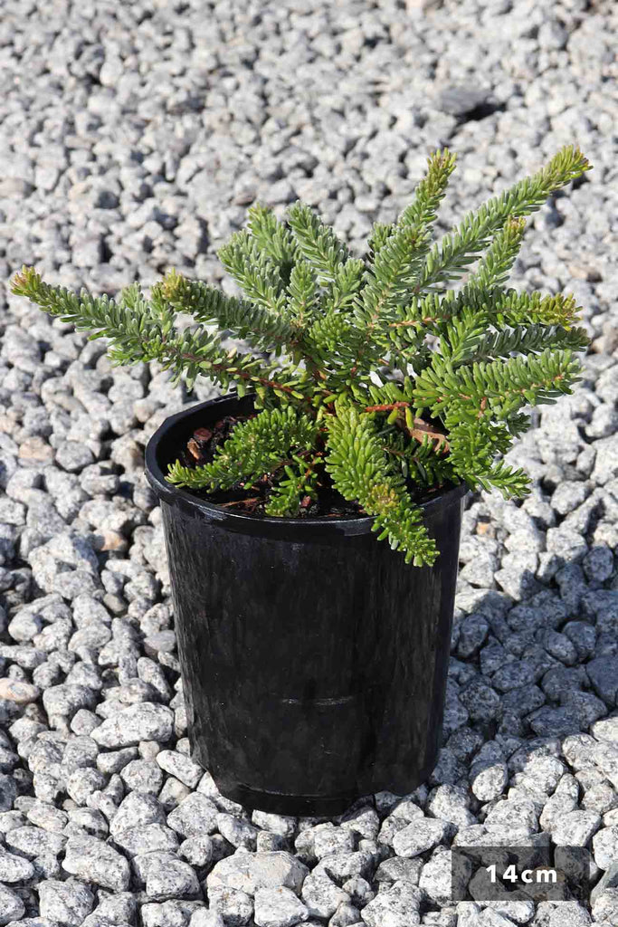 Grevillea lanigera Mt Tamboritha in a 14cm black pot