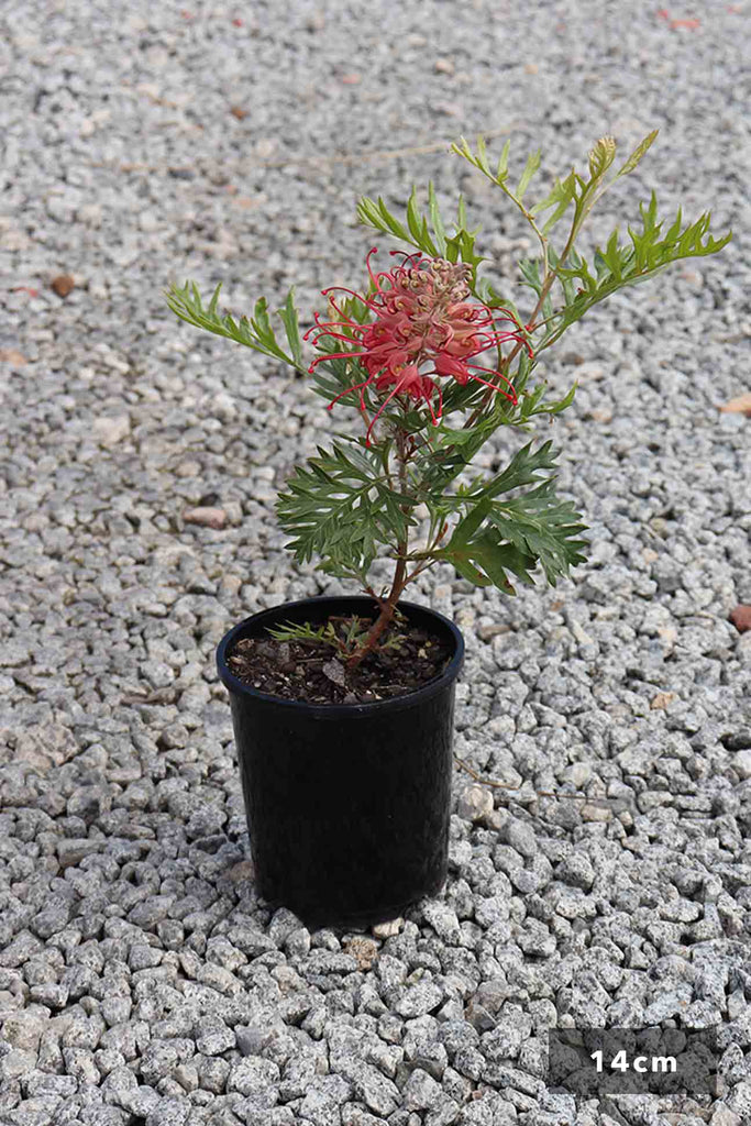 Grevillea Ned Kelly in a 14cm black pot