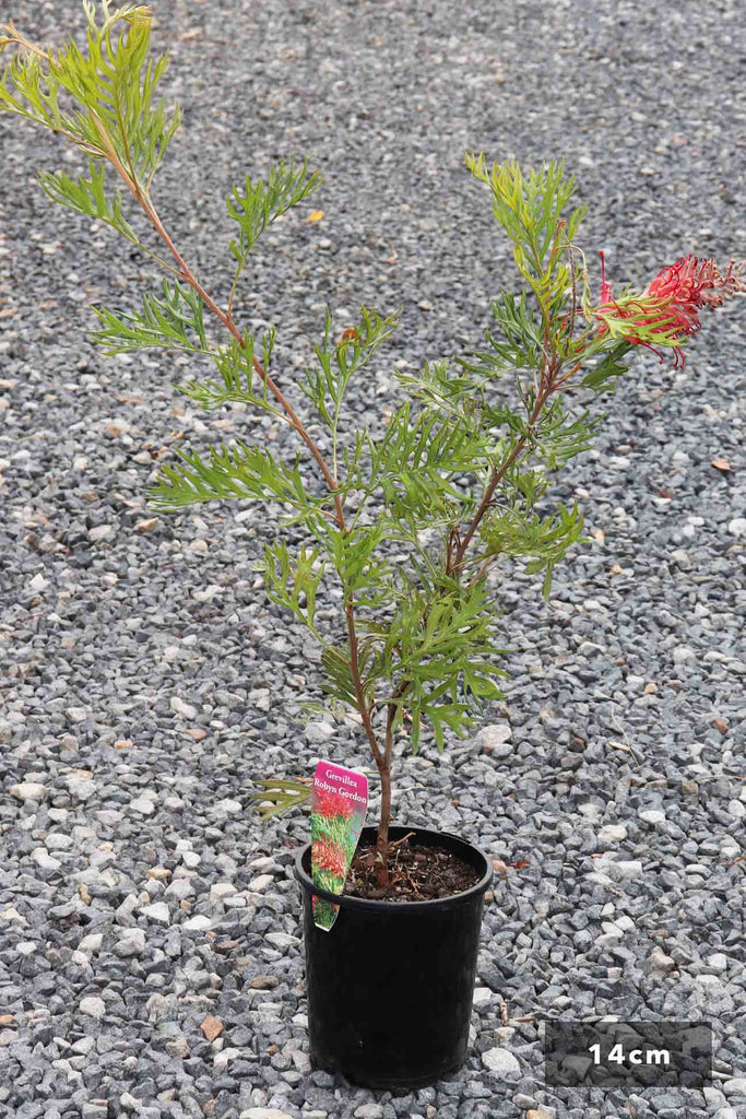 Grevillea 'Robyn Gordon' in a 14cm black pot