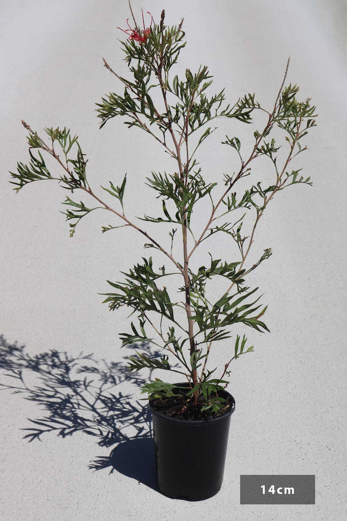 Grevillea surpurb in a 14cm black pot