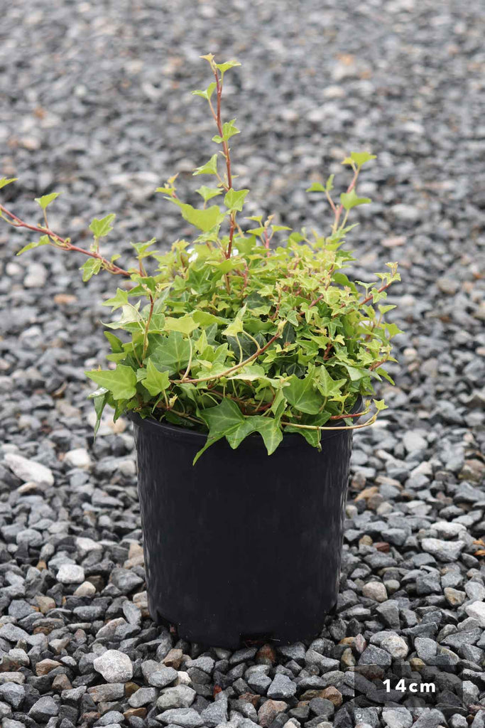 Hedera helix 'Pittsburgh' in a 14cm black pot