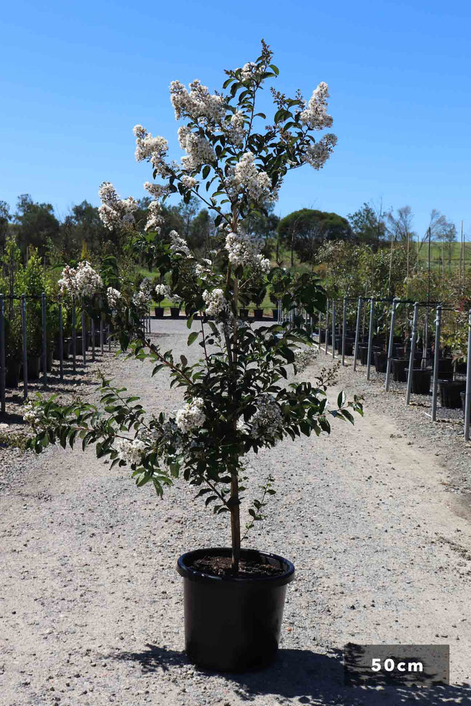 Lagerstroemia indica 'Natchez' in a 50cm black pot