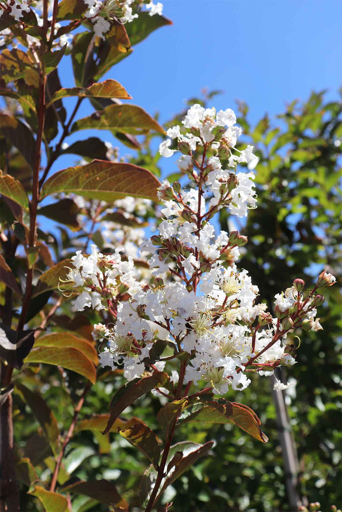 close up of Lagerstroemia Indica Natchez green foliage , white flowers